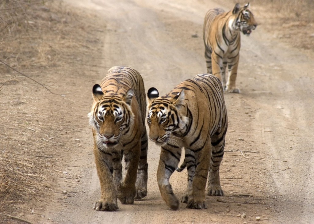 Best Game Drives And Safaris In Ranthambore National Park